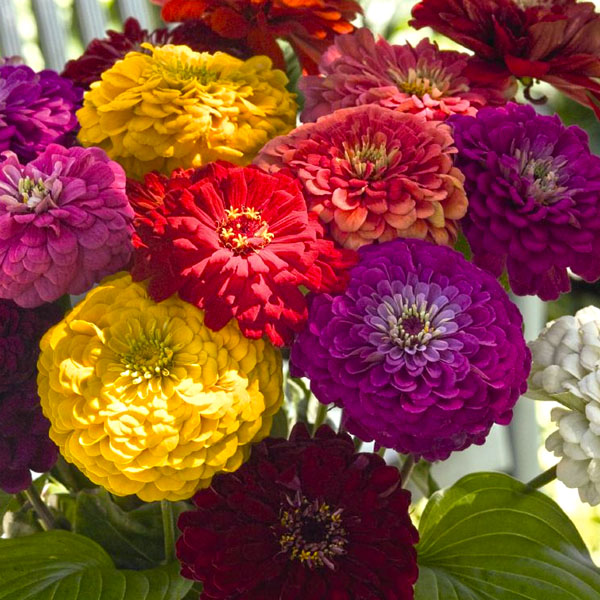 Zinnia elegans 'Benary's Giant Mix'