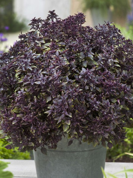 Basil 'Purple Ball' (Ocimum basilicum)