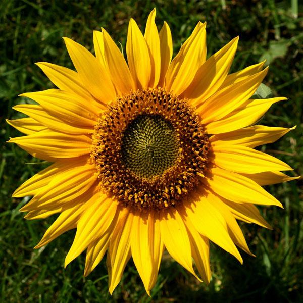 Helianthus annuus 'Hella Sonnenblume' Sunflower