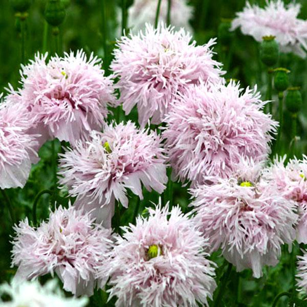 Papaver laciniatum 'PomPom Lilac'