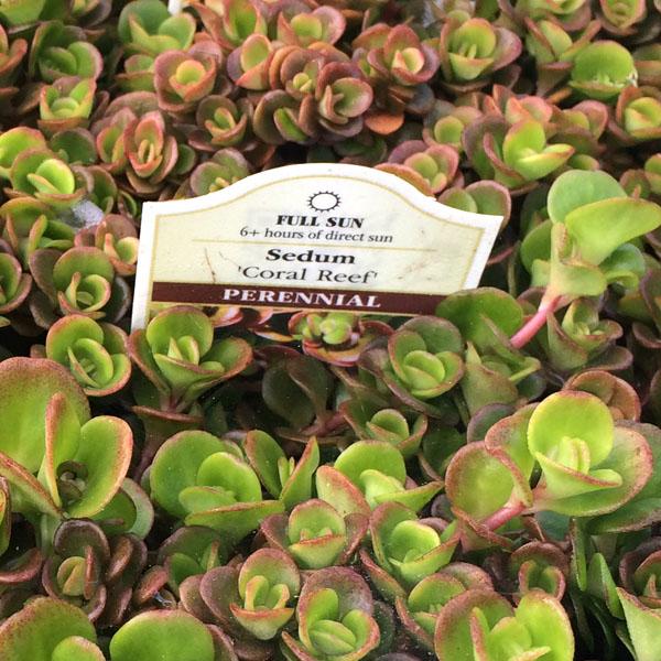 Sedum tetractinum 'Coral Reef' (stonecrop)