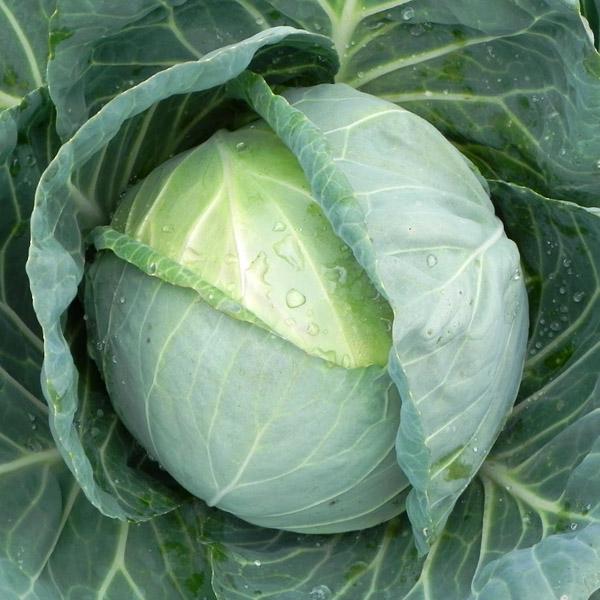 Cabbage 'Crystal Vantage'