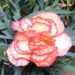 Dianthus caryophyllus 'Mel' (carnation)