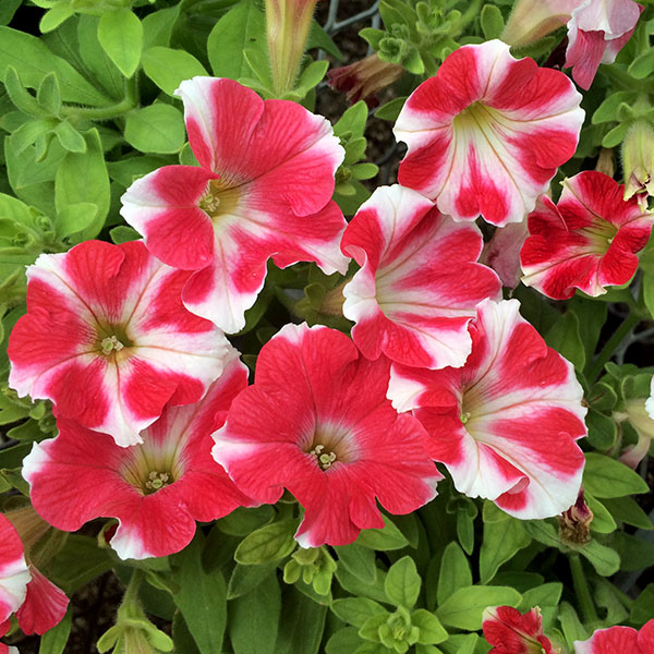 Petunia 'Headliner Red Star'