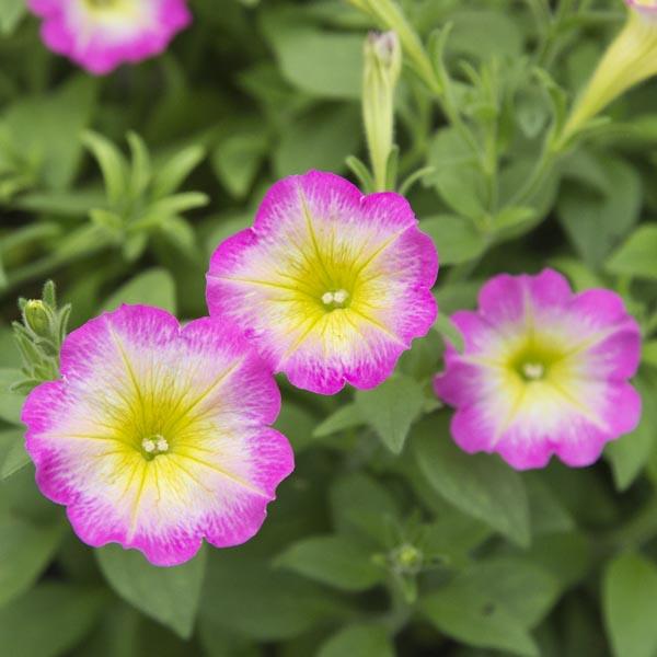 Petunia 'Supertunia Daybreak Charm'