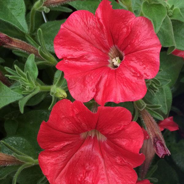 Petunia 'Supertunia Really Red'