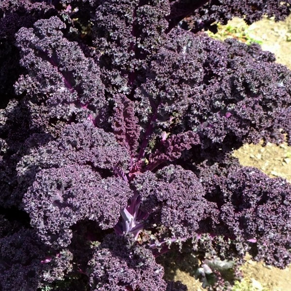 Kale 'Merlot'