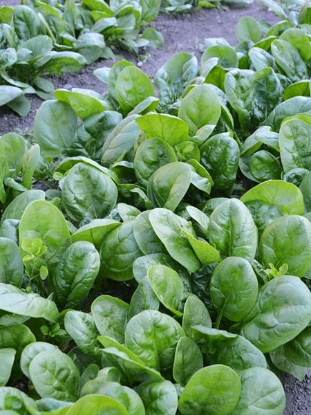 Spinach 'Escalade' smooth leaf