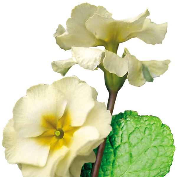 Primula polyanthus 'YOU and ME™ Cream' (hose-in-hose primrose)