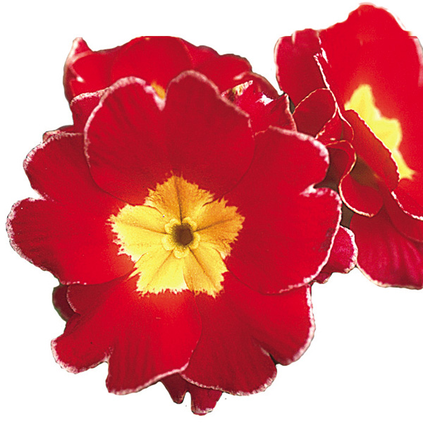 Primula tommassini 'YOU and ME™ Red Laced' (hose-in-hose primrose)