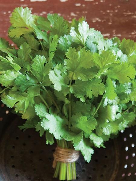 Cilantro 'Cruiser' (Coriandrum sativum)