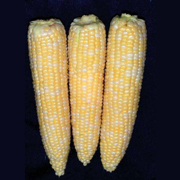Corn 'Precious Gem'