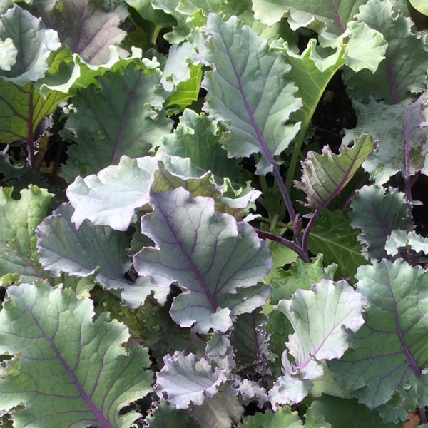Kale 'Olympic Red'