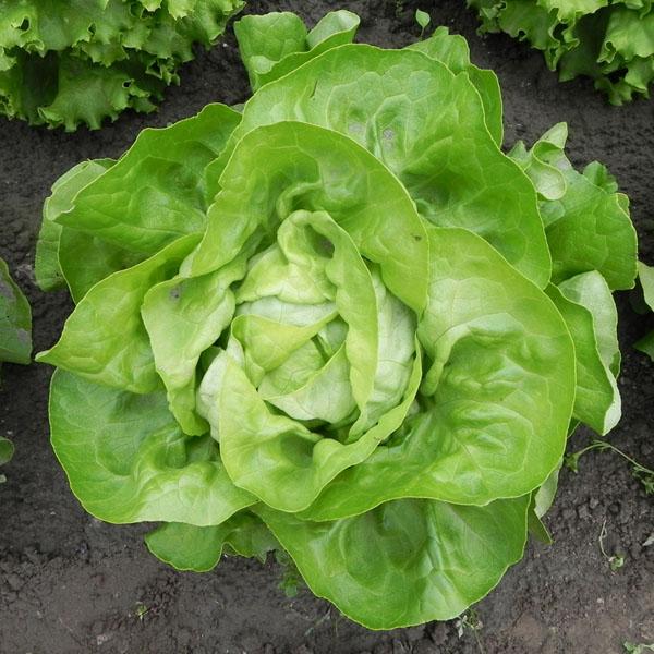 FW Lettuce 'Cuervo' butterhead