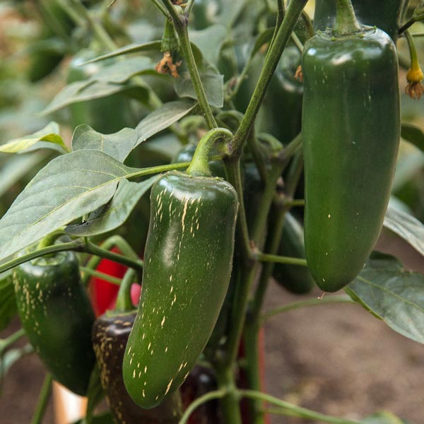 Pepper (Hot) 'Emerald Fire' (AAS)