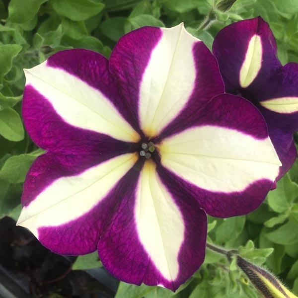 Petunia 'Crazytunia Frisky Purple'