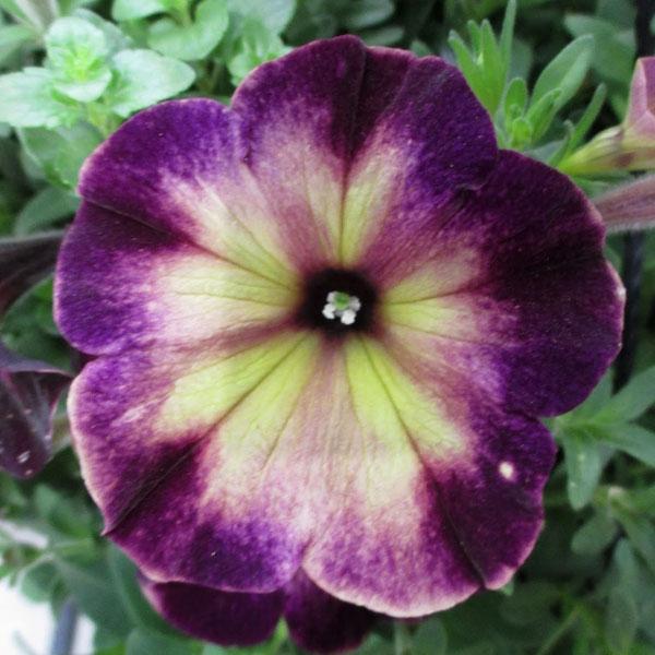 Petunia 'Crazytunia Moonstruck'