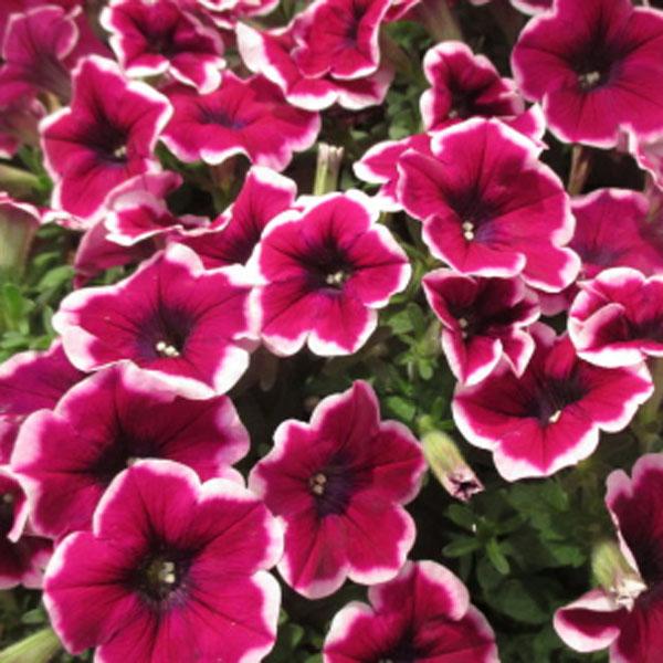 Petunia 'Crazytunia Passion Punch'