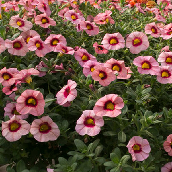 Petunia 'Calibrachoa Superbells Strawberry Punch'