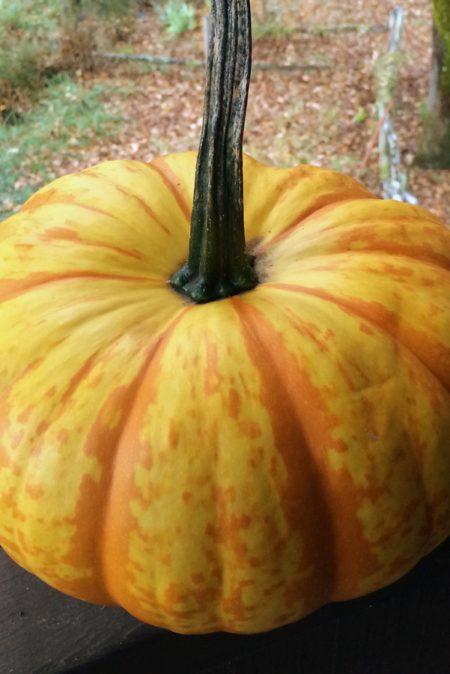 Pumpkin 'Blaze'