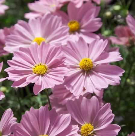 Cosmos bipinnatus 'Apollo Pink'