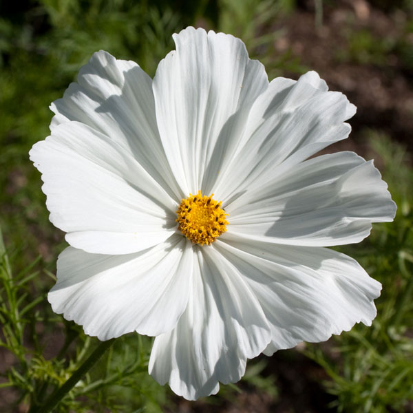 Cosmos bipinnatus 'Apollo White'