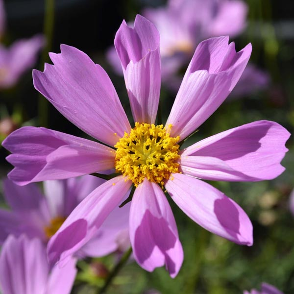 Cosmos bipinnatus 'Lovebird Lilac Pink'