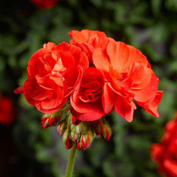 Interspecific Geranium 'Calliope Medium Scarlet'