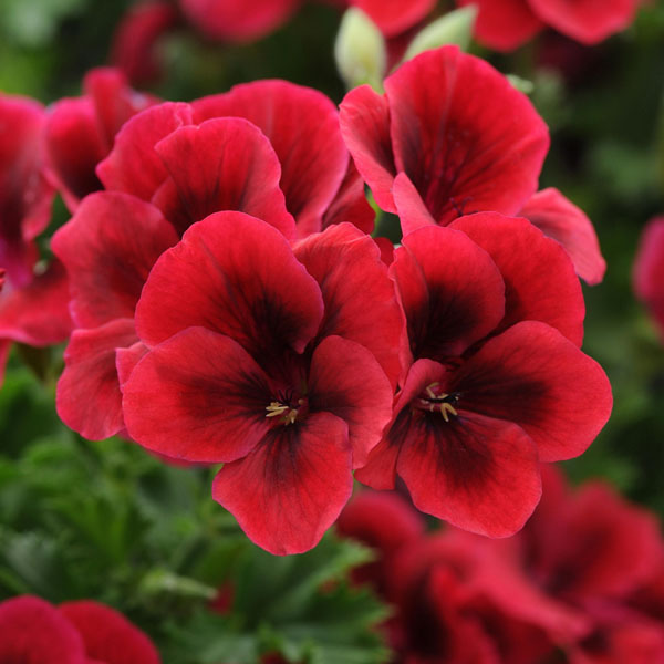 Regal Geranium 'Candy Flowers Bright Red'