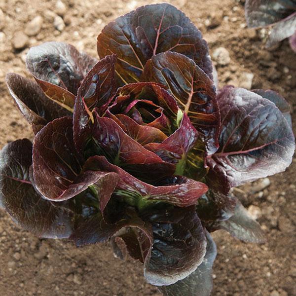 FW Lettuce 'Truchas' mini romaine