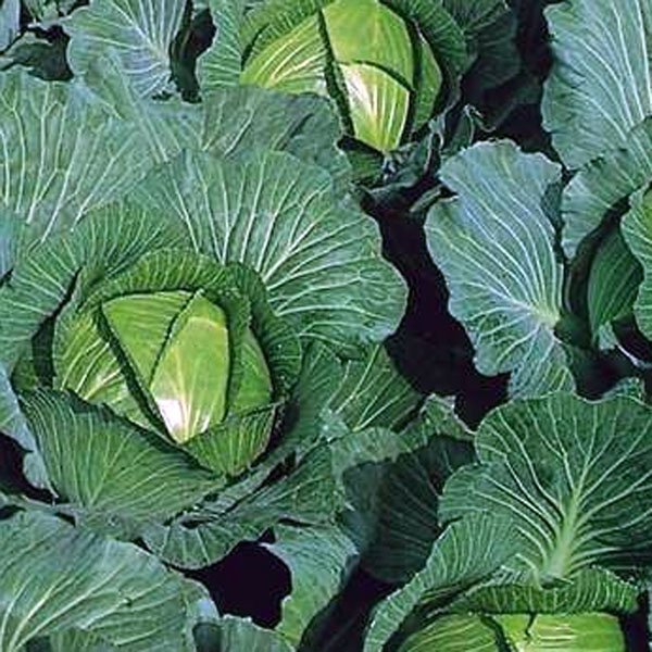 Cabbage 'Bartolo'