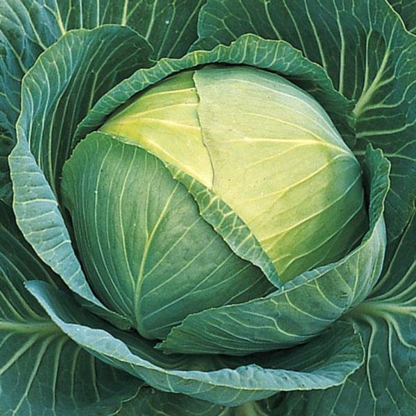 Cabbage 'Passat'