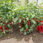 Pepper (Sweet) 'Carmen' Grafted Mighty Veggie