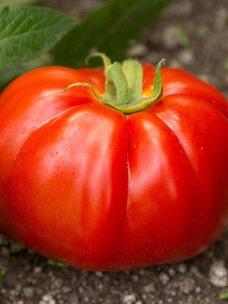 Tomato 'Saucy Lady' Sauce tomato