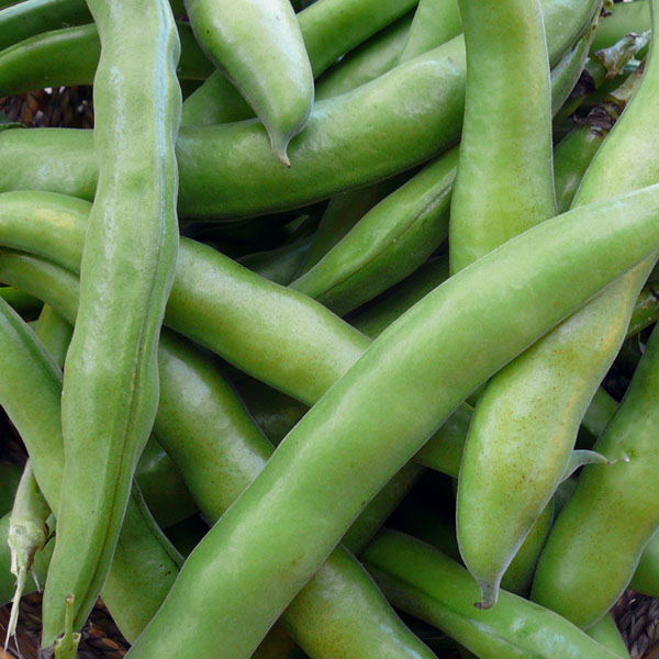 Heirloom Bean 'Wapato' Fava Bean