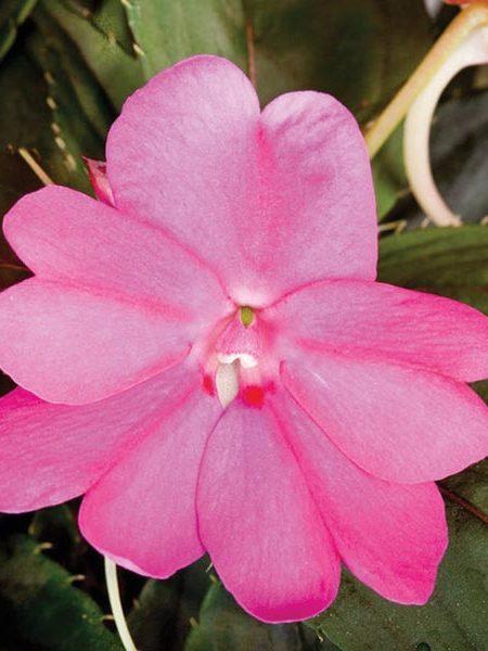 SunPatiens 'Lilac'