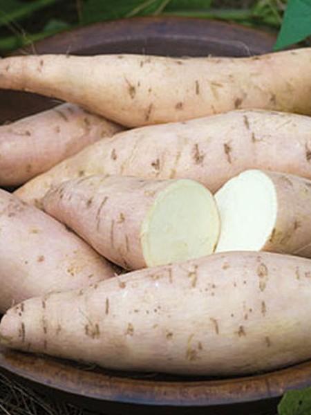 Sweet Potato 'Bonita'