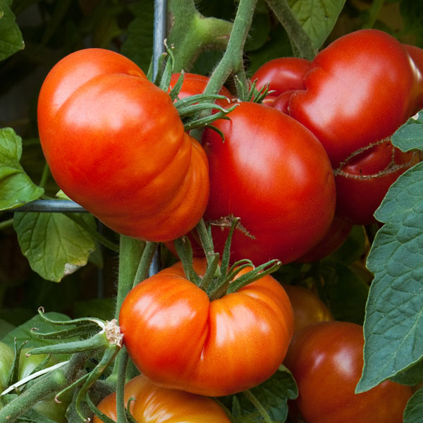 Tomato 'Beefsteak' Grafted Mighty 'Mato