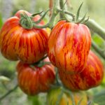 Tomato 'Get Stuffed!' Grafted Mighty 'Mato
