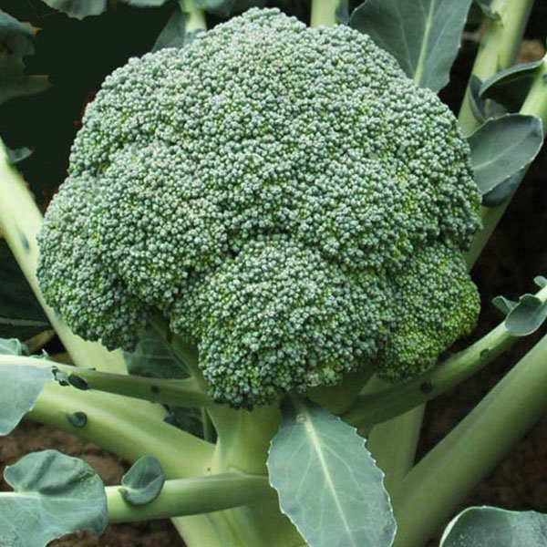 Broccoli 'Green Gold'