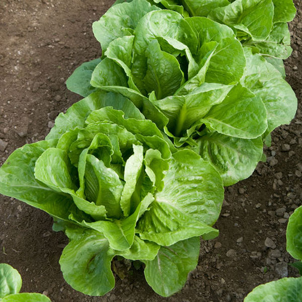 Lettuce 'Coastal Star' romaine