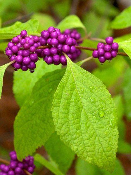 Beautyberry Callicarpa americana