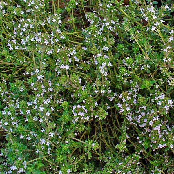 Common Thyme thymus vulgaris