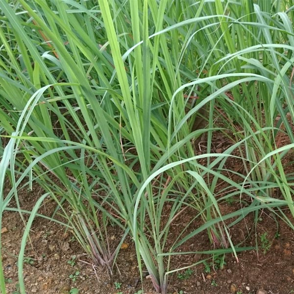 East Indian Lemongrass cymbopogon fluxuosus