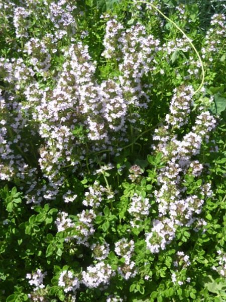 Lemon Thyme thymus x citriodorus