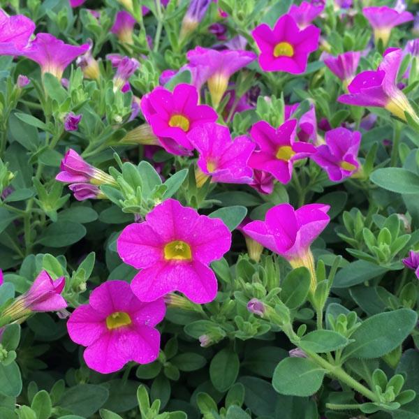 Petunia 'Calibrachoa Superbells Pink'