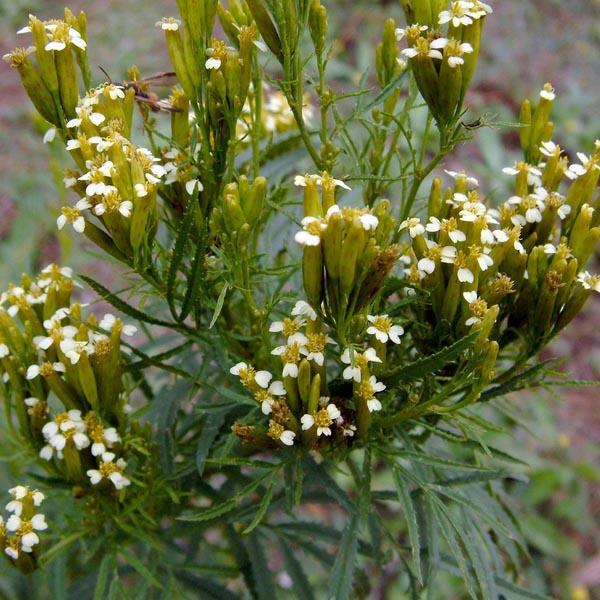 Wild Marigold (Tagetes minuta)