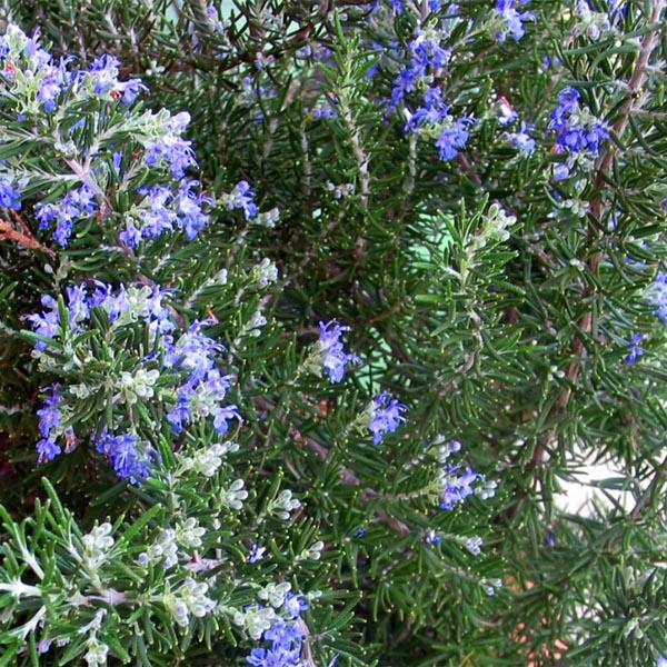 Rosemary Trailing 'Roman Beauty' (Rosmarinus officinalis)