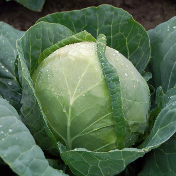 Cabbage 'Katarina'