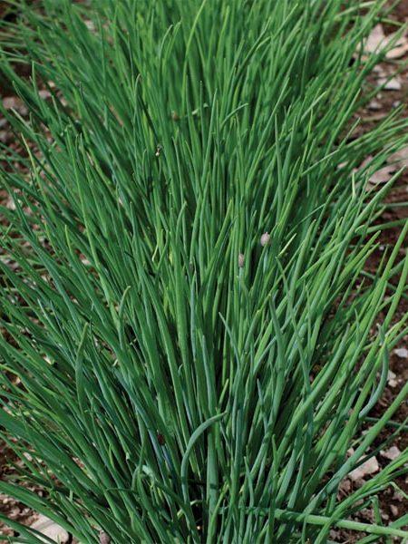 Chives 'Staro' (Allium schoenoprasum)
